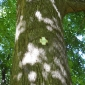 Вековно дърво в двора на манастира